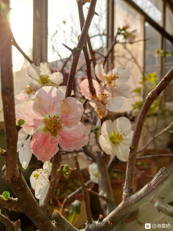 这是海棠下山桩 还是梅花 怎么区别 图片