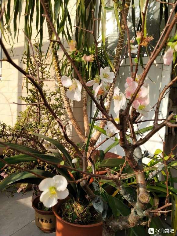 海棠下山桩与梅花的区别是什么 图片