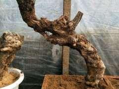 海棠下山桩怎么浇水与施肥的方法 图片
