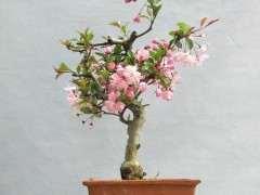 长寿冠海棠下山桩 今年还开花吗 图片