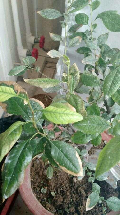 海棠下山桩叶子全掉光 还能活吗 图片