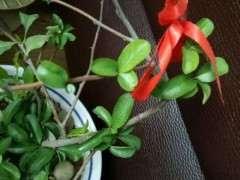 贴梗海棠下山桩开花的温度是多少 图片