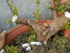 海棠下山桩几月份可以换盆提根 图片