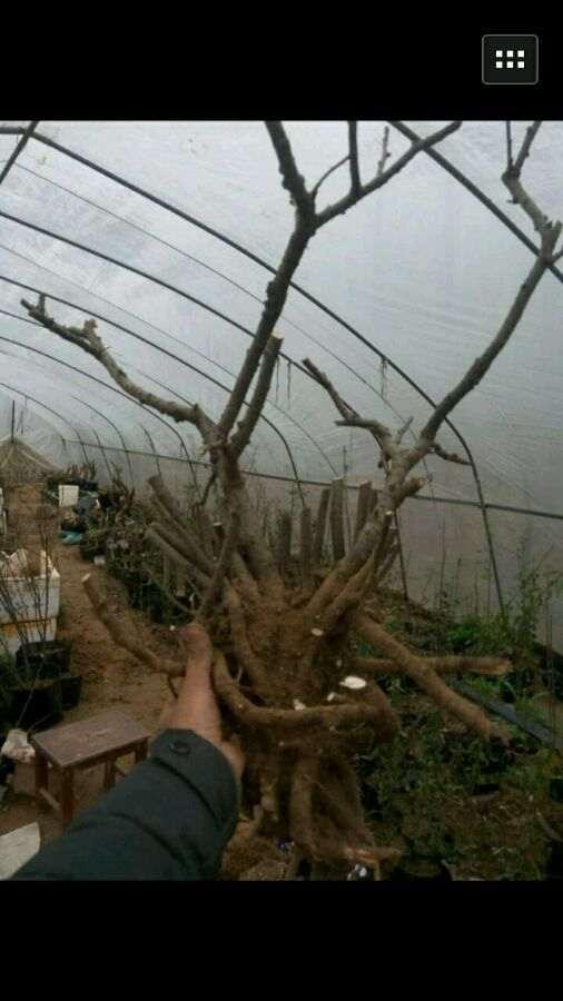 地栽海棠下山桩 要不要缠膜保湿 图片