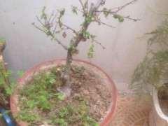 这海棠下山桩是什么品种 突然蔫叶 图片