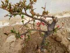 这是木瓜海棠下山桩吗 还能养活吗 图片