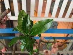 海棠下山桩阴养后 发新芽了 怎么样 图片