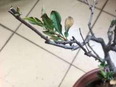 裸根种植海棠下山桩能活吗 怎么办 图片
