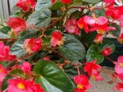 四季海棠这季节每天都浇水 图片