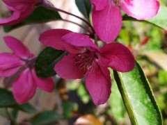 海棠花是不是要比樱花美 为什么 图片