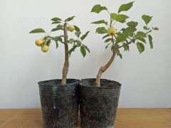 海棠下山桩盆栽 今年开花结果了 图片