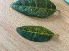 海棠下山桩叶子这样是怎么了 图片