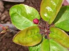 这是西府海棠 还是北美海棠下山桩 图片