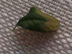 海棠下山桩叶子高温灼伤 怎么办 图片