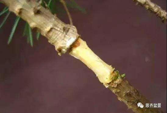 松树盆景怎么高压繁殖的方法