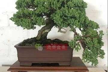 欣赏我1991年买一颗枫树盆景