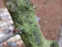 海棠下山桩怎么了 长出来绿色的毛 图片