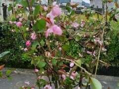 海棠下山桩耐多少低温 在窗外发芽吗