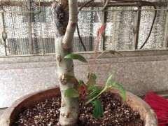 海棠下山桩主干上的芽长不大 怎么办 图片