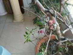 海棠下山桩树叶干枯 树枝也萎缩了 图片