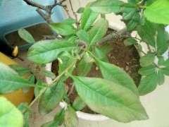 海棠下山桩叶子边缘变色了 怎么办 图片