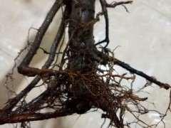 海棠下山桩根可以直接移栽么 为什么
