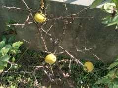 木瓜海棠下山桩果熟了 怎么办 图片
