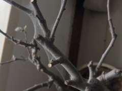 海棠下山桩生虫 叶子全落光了 怎么办 图片