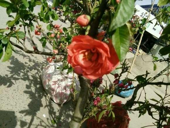 种了几颗海棠下山桩 似乎还有花苞 图片