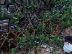 海棠下山桩花叶子怎么往下耷拉 图片