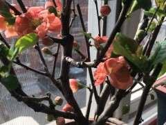 长寿乐海棠下山桩花开了 可以吗 图片