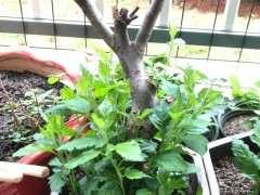 海棠下山桩可以不长叶 需要修剪吗 图片