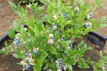 蓝莓盆栽最好扦插时间是什么时候