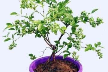 蓝莓盆栽怎么浇水施肥的方法 图片