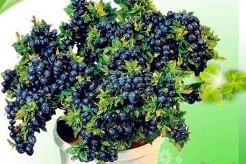 蓝莓盆栽怎么整形修剪的方法 图片