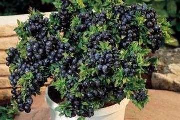 蓝莓盆栽怎么人工授粉的方法 图片
