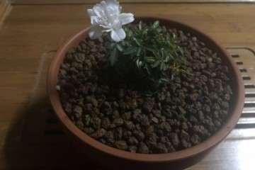 第一次种月季盆栽 用赤玉土 怎么样