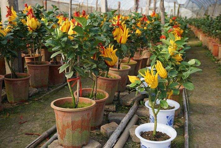 盆栽佛手怎么春季施肥的方法 图片