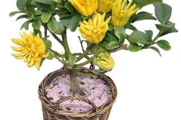 佛手盆栽怎么浇水的方法 图片