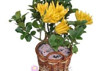 佛手盆栽怎么整形修剪的方法 图片
