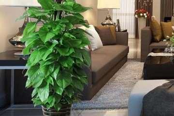 施肥对绿萝盆栽长度有什么影响 图片