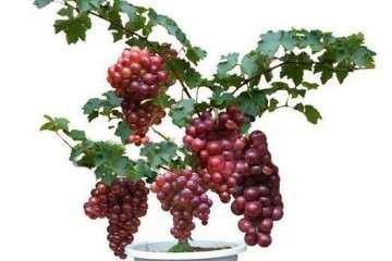 怎么制作葡萄盆栽的方法 图片