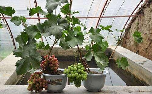 盆栽葡萄的盆土怎么选择的方法 图片