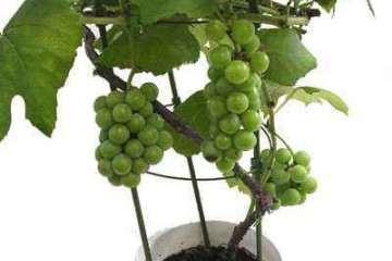 葡萄盆栽怎么扦插育苗的方法 图片