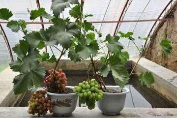 葡萄盆栽怎么上盆的方法 图片