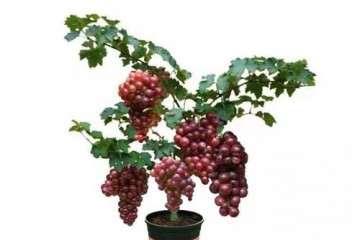 盆栽葡萄怎么施肥的方法 图片