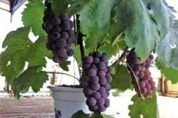 葡萄盆栽施肥时期和方法 图片