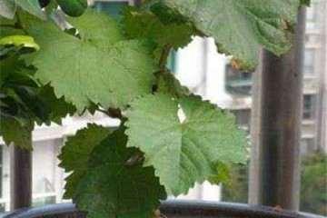 葡萄盆栽怎么浇水的方法 图片