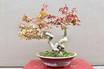怎么制作血红鸡爪槭盆栽的方法 图片