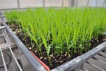 水稻盆栽怎么淋洗的结构试验 图片